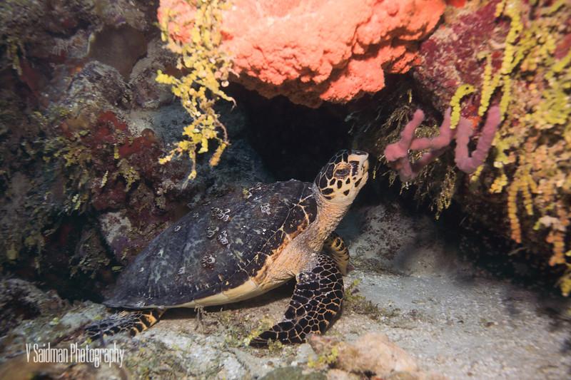 Sea Turtle Munching
