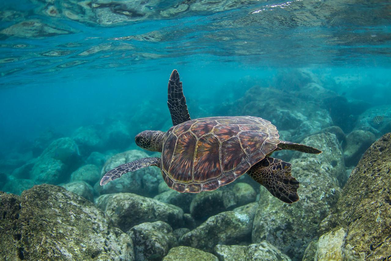 Waimea turtle.