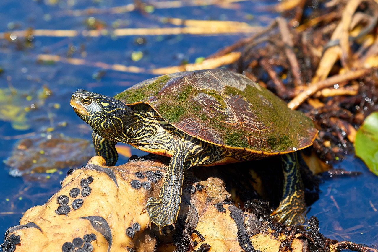 Adult Map Turtle