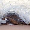 Turtle Coming Ashore