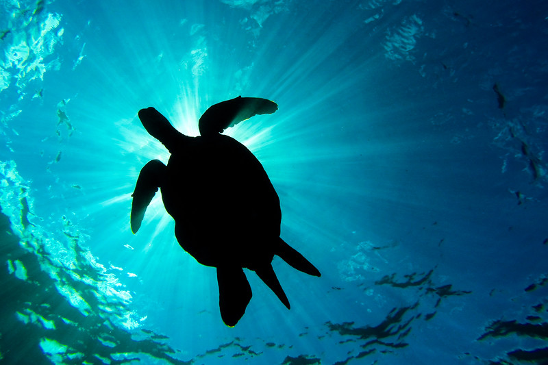 Honu Light