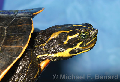 Suwannee Cooter head in profile view