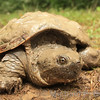 Mud-Covered Snapping Turtle