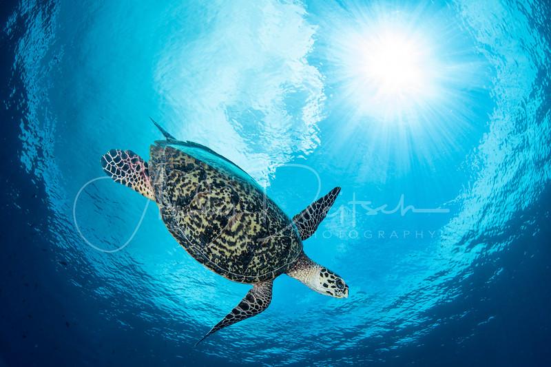 Hawksbill Turtle with Sunburst