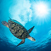 Hawksbill Turtle with Sunburst