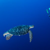 Green Sea Turtle & Diver