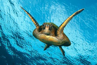 Greem sea turtle, chelonia mydas