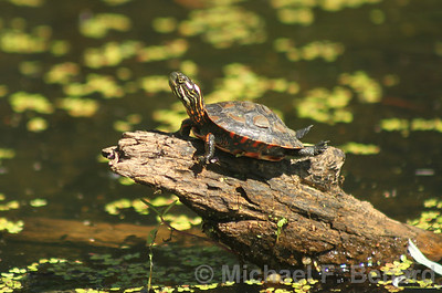Young Painted Turtle Basking