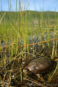 California Pond Turtle