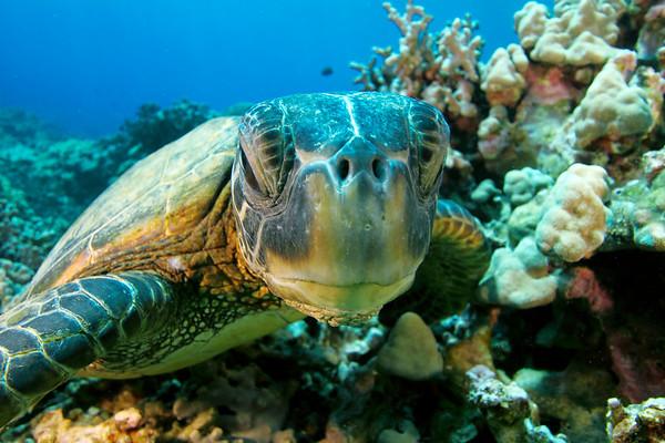 green sea turtle, chelonia mydas, rests on the hard coral reef on the Big Island, Hawaii, Pacific Ocean