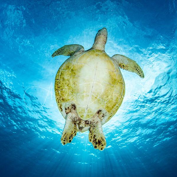 Underside of Green Sea Turtle