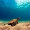 Relaxing Honu