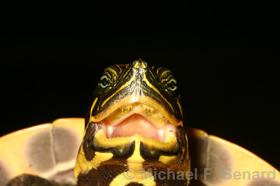 Suwannee Cooter with mouth open