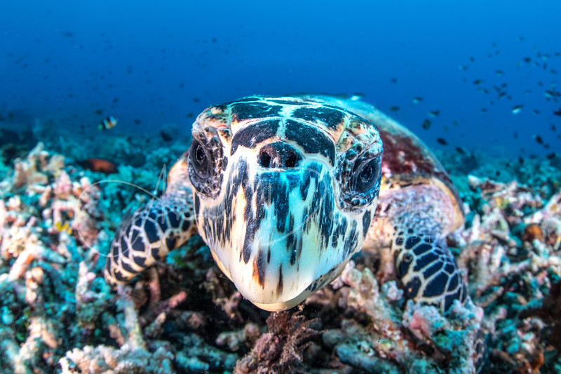 Inquisitive Sea Turtle