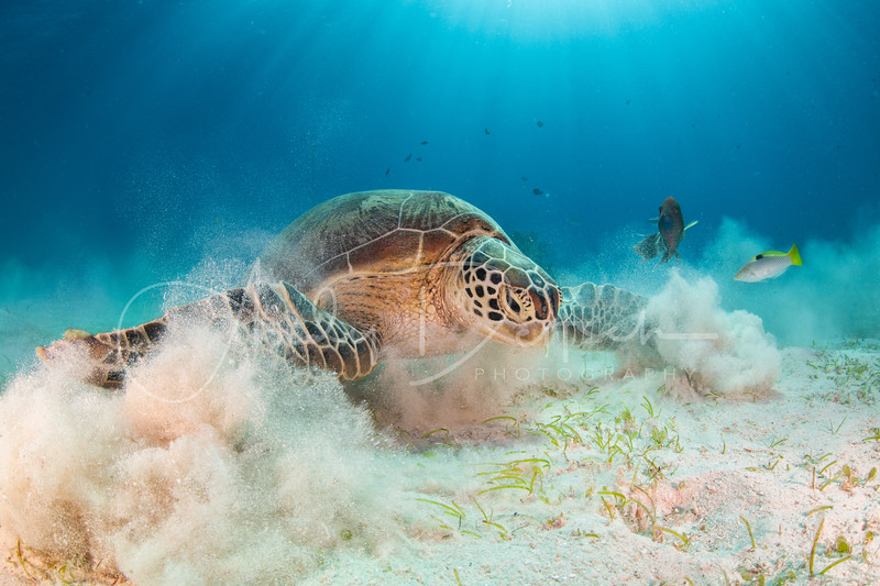 Feeding Green Sea Turtle