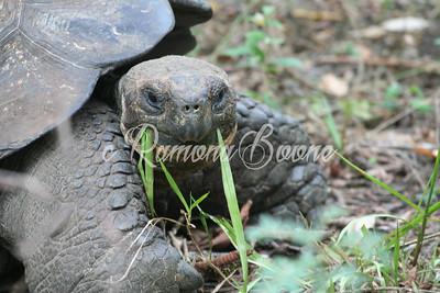 Glapagos Turtle