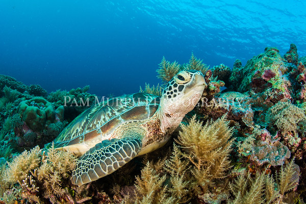 Turtle on Coral