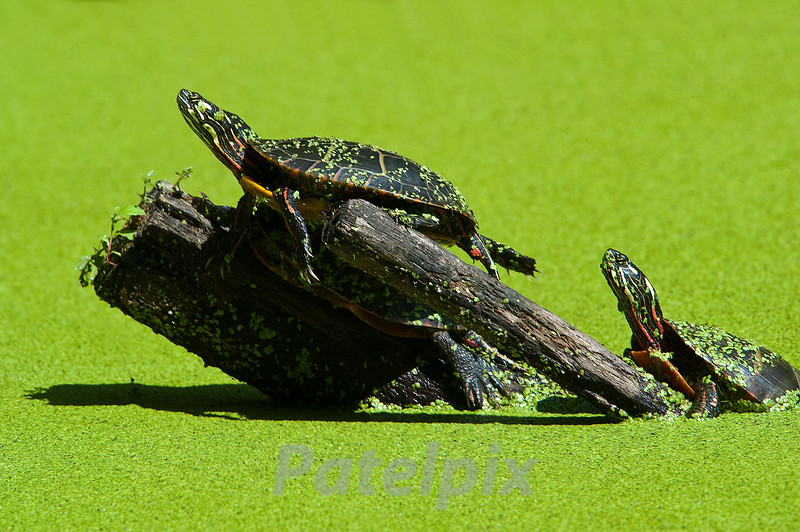 Painted Turtles<br /> The Celery Farm<br /> Allendale, New Jersey, 2010