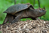 Snapping turtle after laying eggs<br /> The Celery Farm<br /> Allendale, New Jersey, 2010