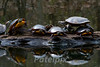 Rush Hour!!!<br /> Painted turtles<br /> Flat Rock Brook Park, Englewood, New Jersey