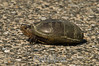 A very young snapping turtle, crossing the road <br /> Blackwater NWR, Maryland, 2010<br /> <br /> Unfortunately, such crossings often have a tragic ending!