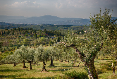 Olive groves at Villa Tizzano