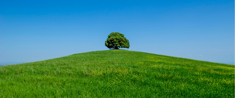 Lonely Oak Tree; Buonconvento; Tuscany; Italy