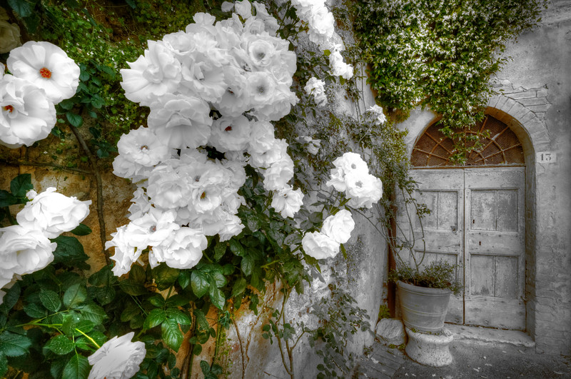 White Roses; Lucignano d'Asso; Tuscany; Italy