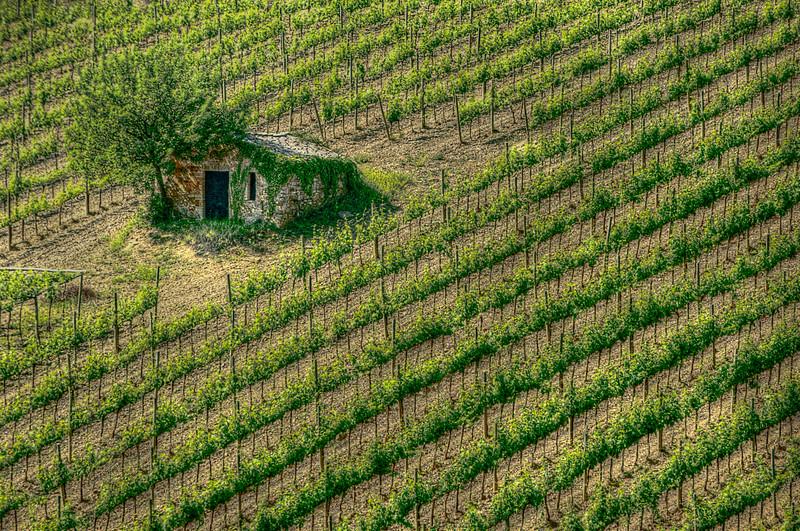 Vineyard; Montalcino; Tuscany; Italy