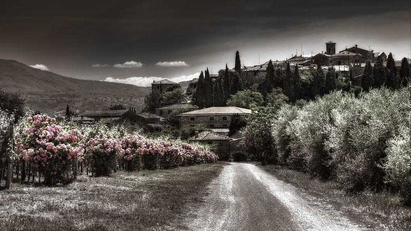 Rose bushes in vineyard; Tuscany; Italy