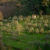 Olive Grove – Villa Montalbano