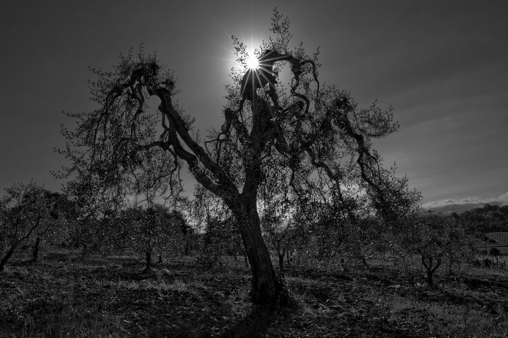 Olive Tree; Tuscany; Italy