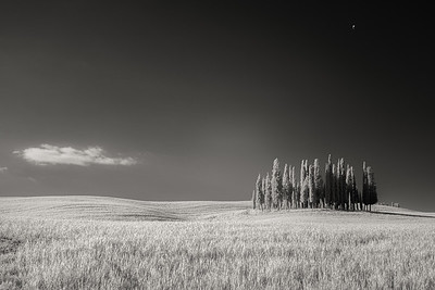 Cypress Copse, Tuscany