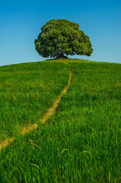 Lonely Oak Tree; Buonconvento; Tuscany; Italy