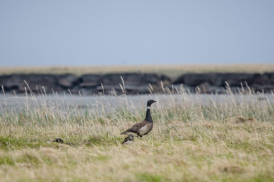 Brant on Tundra
