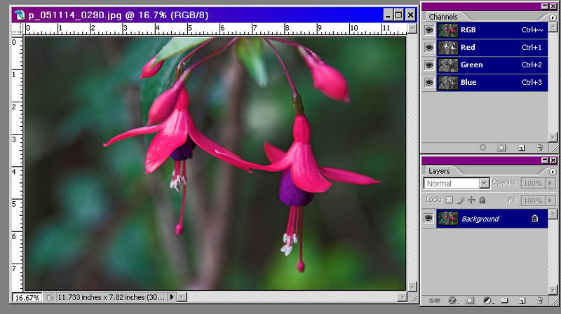 The image on the right shows two highly saturated flowers and three bright buds.  The buds are somewhat distracting, but two of them would be difficult to remove by cloning.  We will use a layer in saturation mode to make the buds less prominent.