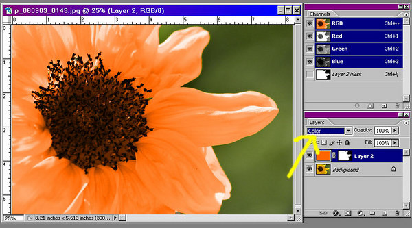 In order to appreciate the effect of variation in saturation, we can change the fill layer's blending mode to color.  In color mode, the resulting color has both the hue and saturation of the blend color.  Since there is no variation in the saturation of a fill color, some of the detail on the petals is lost.  Try this yourself to see the difference between hue and color mode.