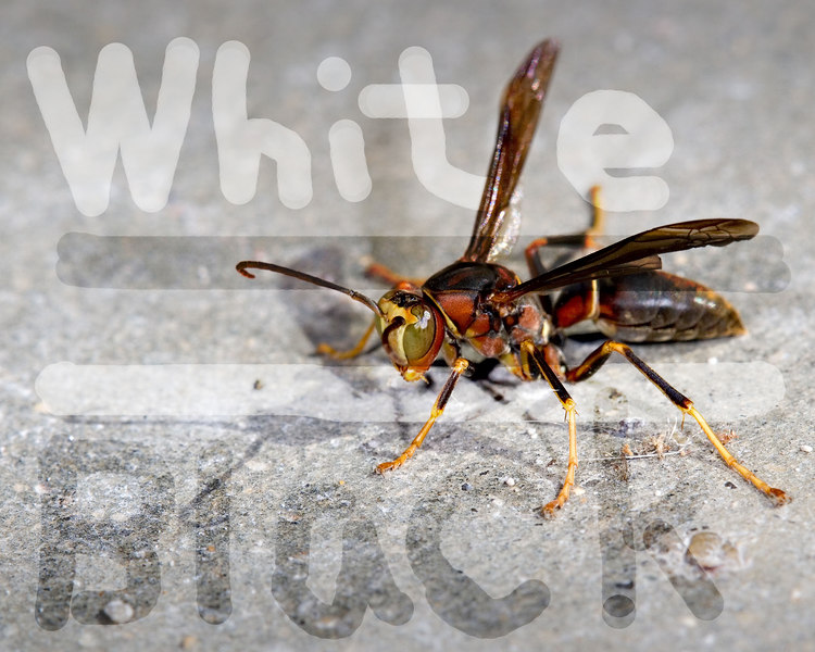 Here is the wasp previously shown, with a sharp edge brush used for demonstration purposes, in Overlay Blending Mode with Black or white ink.  Note how when the brush strokes cross, the effects are cumulative.