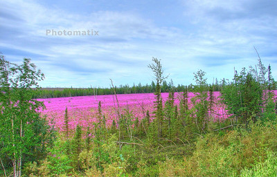 Fireweed along the Dalton Hwy.  Can't wait to try shots like this again next summer.  It has been very hard to capture the true richness of fireweed blossoms in the past.