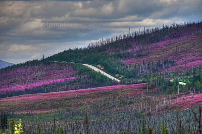 Had this been a bright, sunny day the fireweed would have shown up even more vivid.