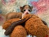 Aspen Cuddle Puppy 2