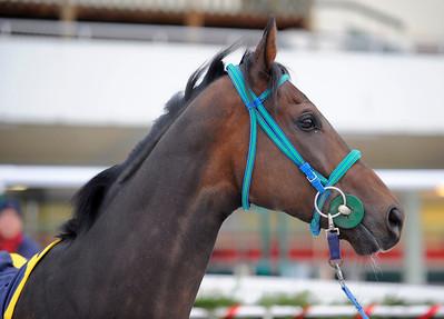 Champion 2011. Major Calloway | Täby 120115 |  Foto: Stefan Olsson / Svensk Galopp