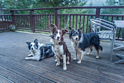 Mon 5th Dec : Three Collies On The Terrace