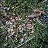 Mon 13th Feb : top Hallgarth path : red squirrel cone