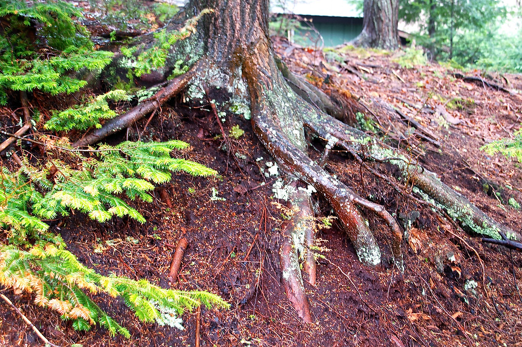 Tree roots in deep