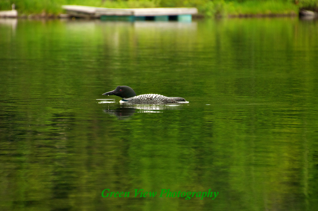 Daddy loon looking for dinner.