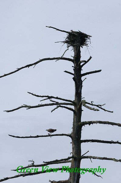 Osprey Eating Dinner - Moss Lake