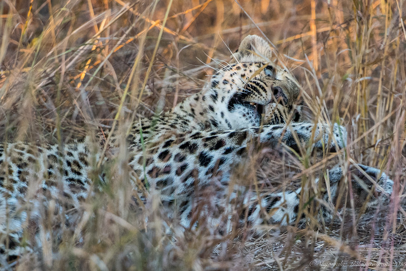 The leopard was lazing at the bottom of the tree swatting flies