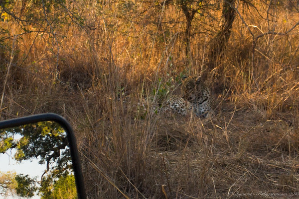 Leopard lolling in the lallang
