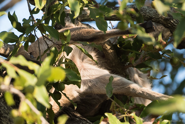 Hapless bushbuck - killed by a leopard and dragged  up a tree, not far from our lodge